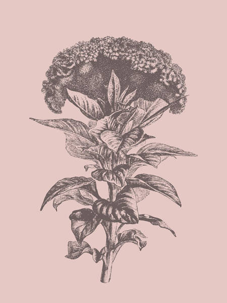 Bouquet Mixed Media - Celosia Blush Pink Flower by Naxart Studio
