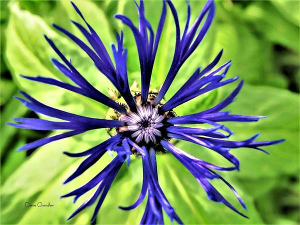 Photograph - Centaurea Montana by Diane Chandler