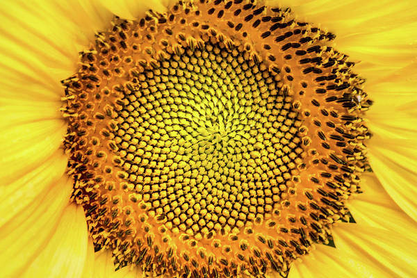 Photograph - Center Of A Sunflower by Don Johnson