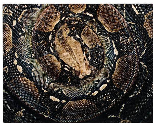 Photograph - Central American Boa Constrictor by Photo By Frank Lundburg