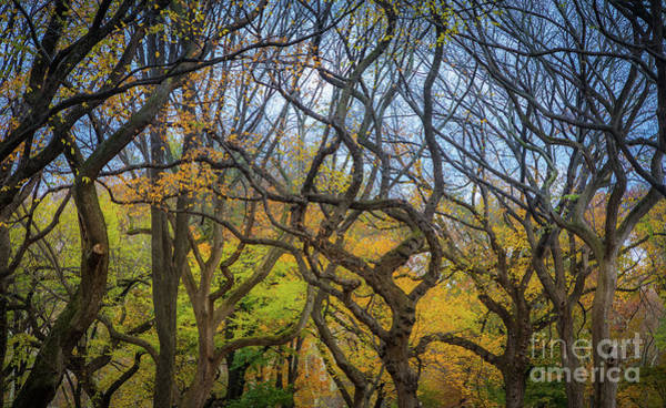 Photograph - Central Park Twisted Trees by Inge Johnsson