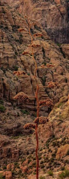 Photograph - Century Plant by Rick Furmanek