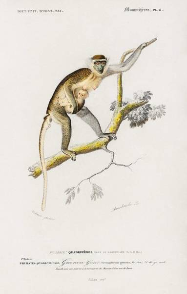 Baby Gorilla Painting - Cercopithecus Griseus Guenon Grivet Illustrated By Charles Dessalines D' Orbigny 1806-1876 by Charles Dessalines