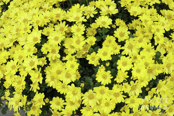 Photograph - Ceylon Yellow Chrysanthemums Background by Marina Usmanskaya
