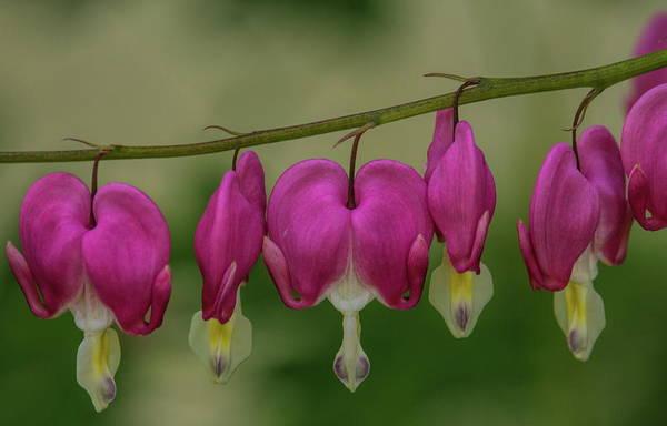 Photograph - Chain Of Bleeding Hearts by Dale Kauzlaric