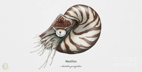 Painting - Chambered Nautilus - Nautilus Pompilius - Gemeines Perlboot - Fineart Print - Stock Illustration by Urft Valley Art