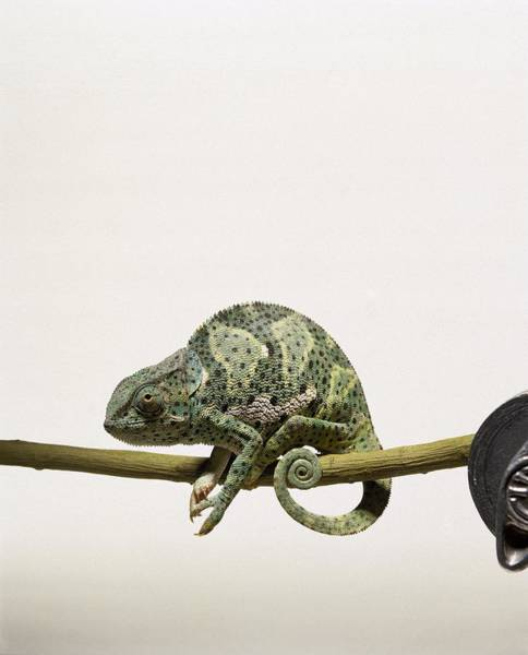 Lizard Photograph - Chameleon On A Branch by Julie Dennis