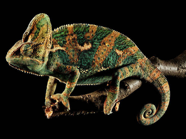 Resting Photograph - Chameleon Resting On Branch Against by Chris Turner