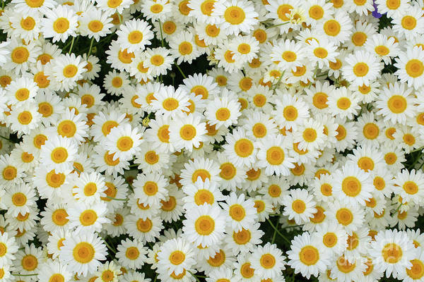 Photograph - Chamomile Flowers Pattern by Tim Gainey