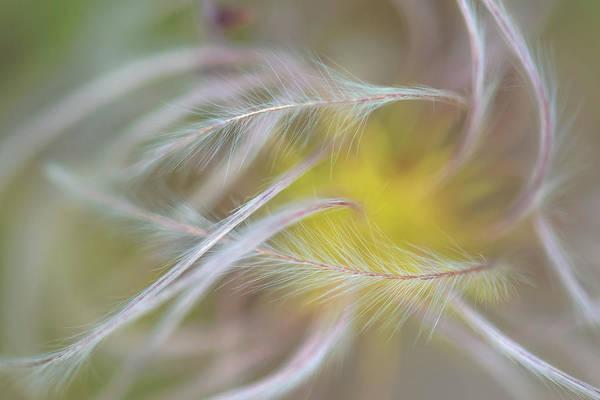 Photograph - Chaparral Clematis Fruit Plume by Alexander Kunz