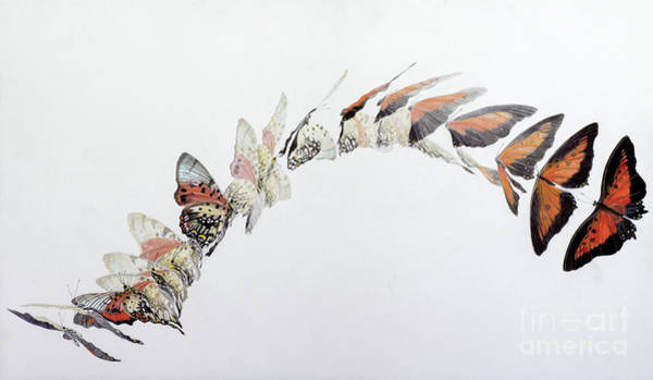 In Motion Painting - Charaxes Zingha Flight Pattern by Odile Kidd