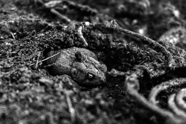 Empty Nest Wall Art - Photograph - Charcoal Toad by Michael Parker