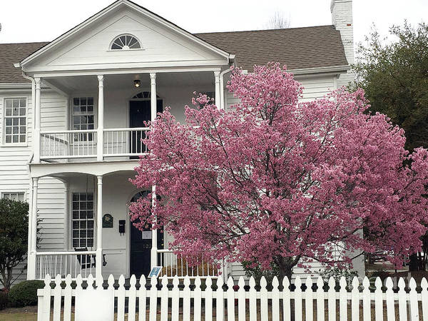 Wall Art - Photograph - Charleston South Carolina Spring Pink White Victorian House Pink Blossom Trees  by Kathy Fornal
