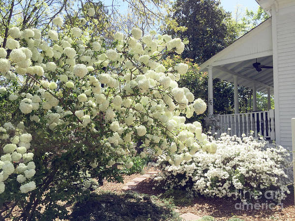 Wall Art - Photograph - Charleston Spring Blossoms Victorian French Quarter White Hydrangea Tree - Charleston White Blossoms by Kathy Fornal