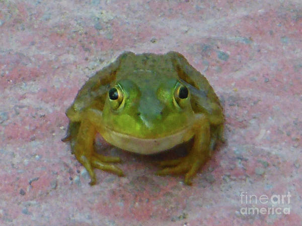 Photograph - Charming American Bullfrog by Rockin Docks