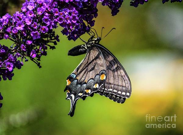Wall Art - Photograph - Charming Black Swallowtail  by Cindy Treger