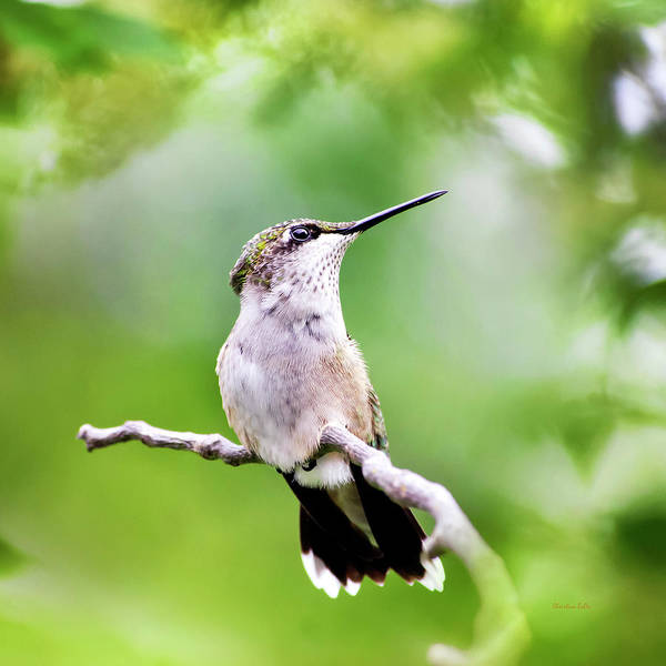 Wall Art - Photograph - Charming Hummingbird Square by Christina Rollo