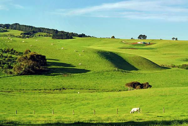 Grazing Photograph - Charolais Cattle Grazing Near Flinders by Australian Scenics
