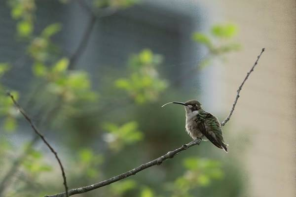 Colibri Photograph - Cheeky Hummingbird by Jeff Folger