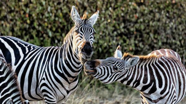 Wall Art - Photograph - Cheeky Zebra by Stephen Stookey