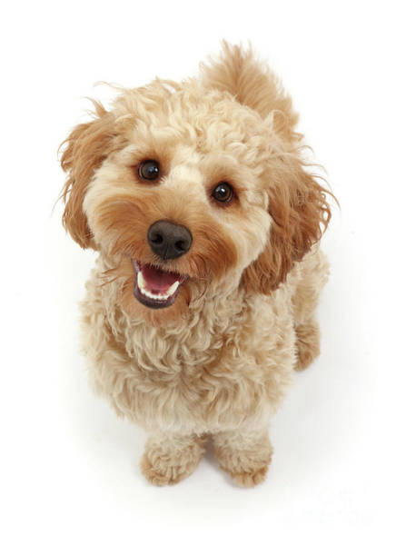 Photograph - Cheerful Cavapoo by Warren Photographic