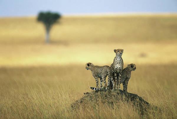 Wall Art - Photograph - Cheetah Acinonyx Jubatus And Cubs by Paul Souders