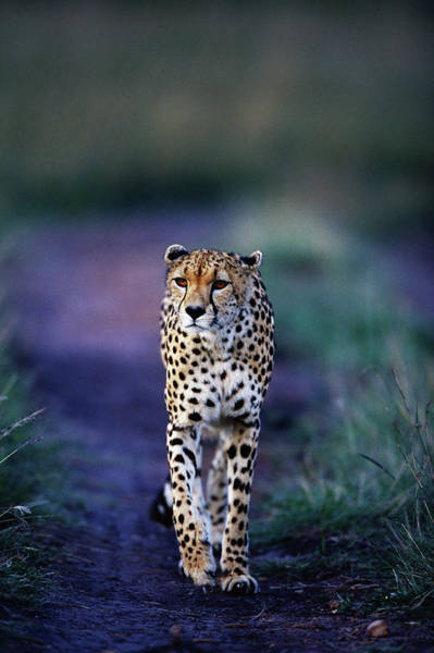 Wall Art - Photograph - Cheetah Acinonyx Jubatus by Anup Shah