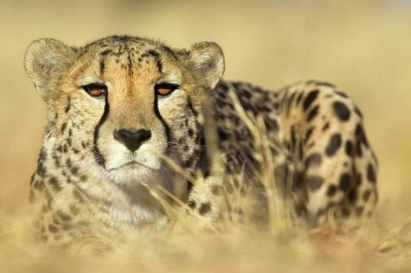Wall Art - Photograph - Cheetah Acinonyx Jubatus In Hunting by Manus Van Dyk