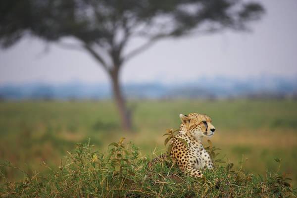 Savannah Photograph - Cheetah Acinonyx Jubatus In Savannah by Jan Cobb Photography Ltd