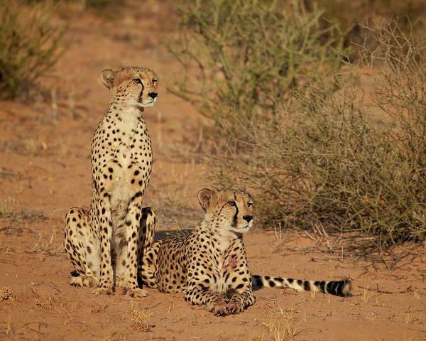 James Brown Photograph - Cheetah Acinonyx Jubatus Siblings by James Hager / Robertharding