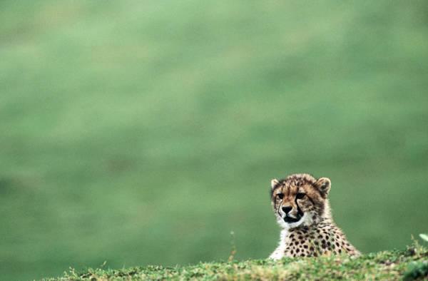 Selective Focus Photograph - Cheetah Acinonyx Jubatus, United States by Mark Newman