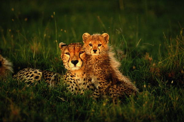 Wall Art - Photograph - Cheetah Acinonyx Jubatus With Cubs In by Art Wolfe