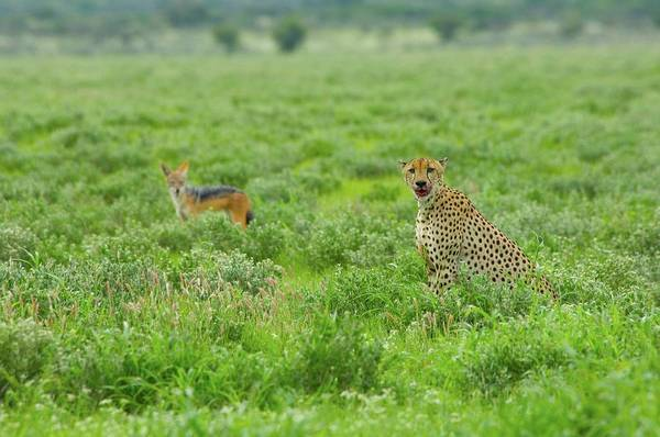 Back In The Day Photograph - Cheetah And Black-backed Jackal On by Fabio Chironi