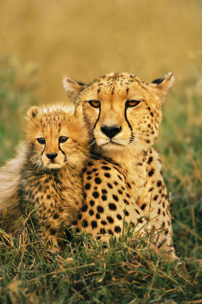 Wall Art - Photograph - Cheetah And Cub by Mint Images