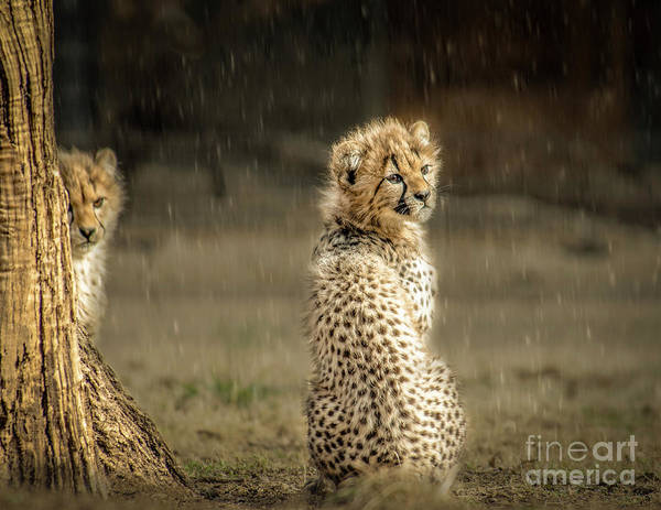 Photograph - Cheetah Cubs And Rain 0168 by Donald Brown