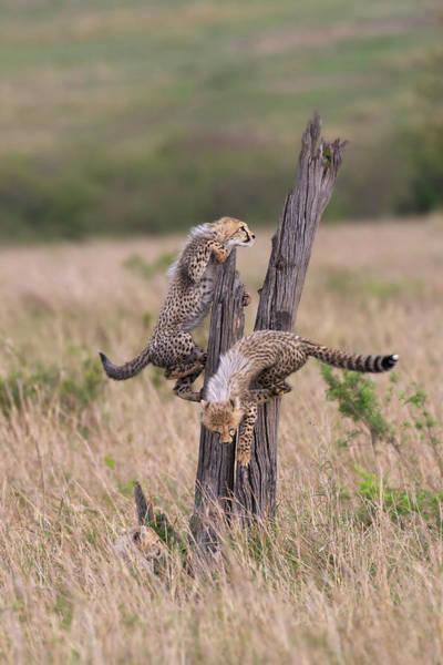 Three Trees Photograph - Cheetah Cubs At Play In The Maasai by Piper Mackay