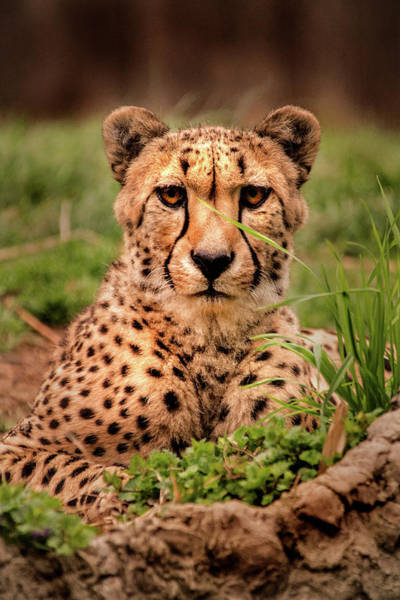 Photograph - Cheetah-dc by Don Johnson