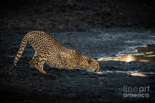 Wall Art - Photograph - Cheetah Drinking by Jamie Pham