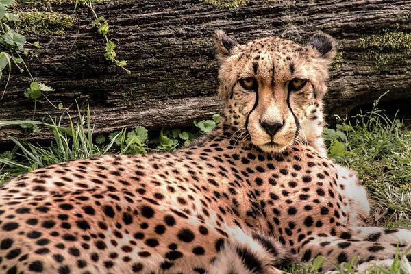 Photograph - Cheetah Eye Contac by Don Johnson