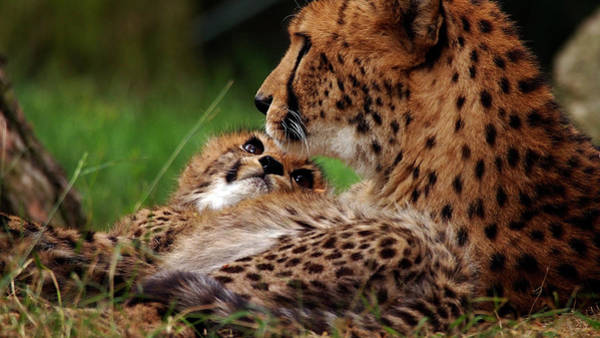 Photograph - Cheetah Family by Eye to Eye Xperience