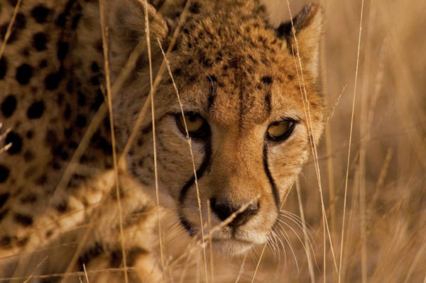 Photograph - Cheetah In High Reed by Eye to Eye Xperience