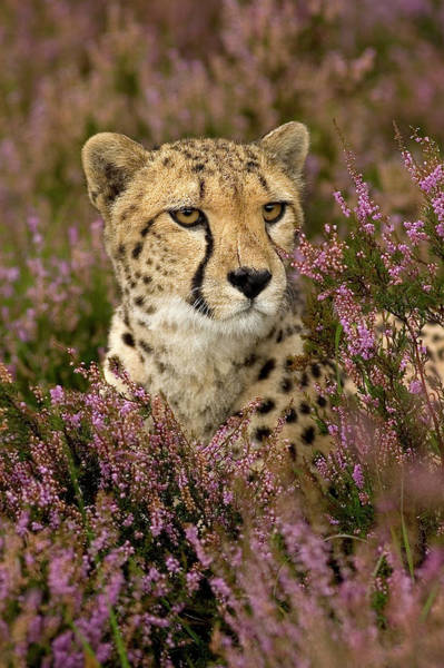 Photograph - Cheetah In Purple Flowerbed by Eye to Eye Xperience