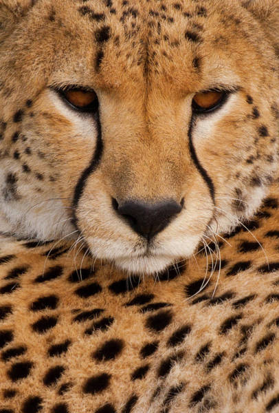 Photograph - Cheetah In The Serengeti National Park by Mint Images - Art Wolfe