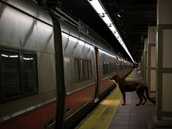 Point Of View Wall Art - Photograph - Cheetah On Subway Station Platform by Erik Snyder