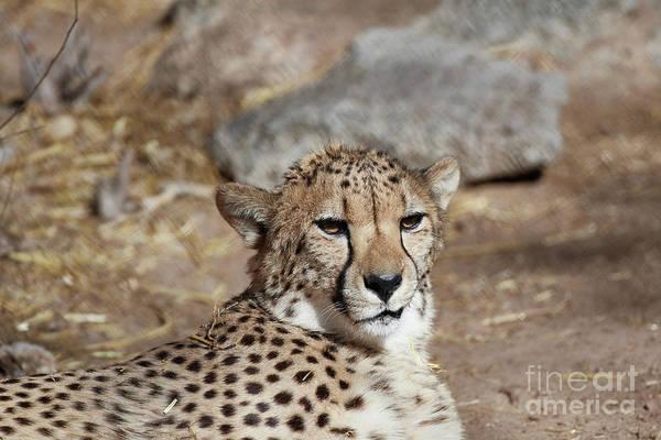 Photograph - Cheetah Portrait by Robert WK Clark