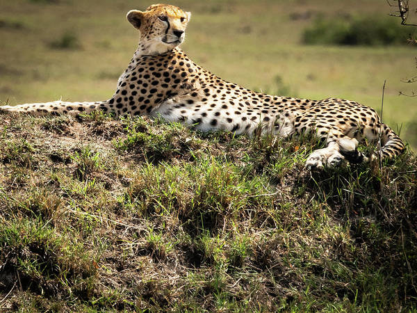 Photograph - Cheetah by Robin Zygelman