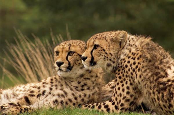 Photograph - Cheetah Siblings by Eye to Eye Xperience