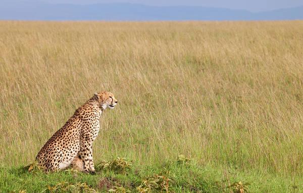 Savannah Photograph - Cheetah Sitting By Empty Savannah by Pixzzle