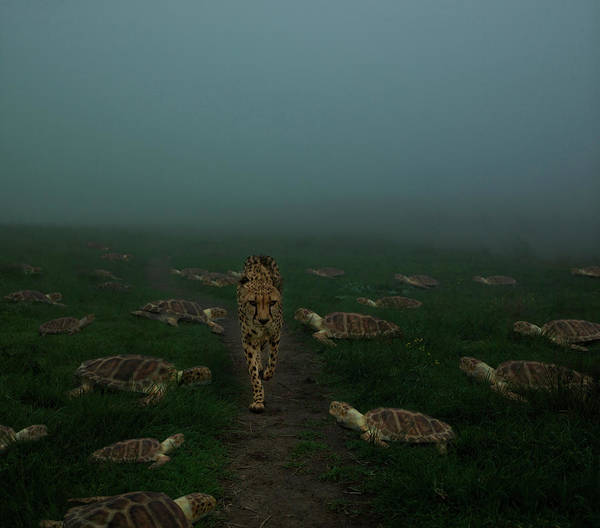 Out Of Context Photograph - Cheetah Walking Along Path With Turtles by Erik Snyder