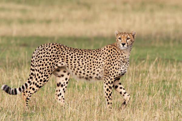 Photograph - Cheetah Walking, Maasai Mara, Kenya by Piper Mackay